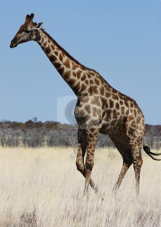Giraffe stock photo, Namibian wild life, Etosha park, dry season by Perseomedusa