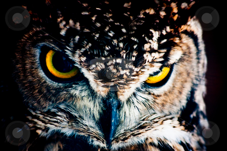 Look me - Athene noctua stock photo, Small European owl, nocturnal bird of prey with hawk-like beak and claws and large head with front-facing eyes by Perseomedusa