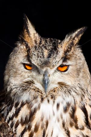 Royal owl - Bubo Bubo stock photo, Royal owl: complete classification Bubo Bubo - Aves - Neognata - Strigiformes - Striginae by Perseomedusa
