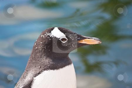 Gentoo Penguin stock photo, Latin name  Pygoscelis Papua, typical of Falkland Islands by Perseomedusa