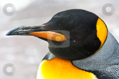 King Penguin stock photo, Latin name  Aptenodytes Patagonica, tipical of Falkland Islands by Perseomedusa