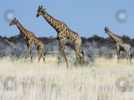 Group of giraffes stock photo, Namibian wild life, Etosha park, dry season by Perseomedusa