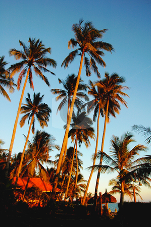 Coconut trees at sunrise stock photo, Landscape of coconut trees in the golden sunlight at sunrise by John Young
