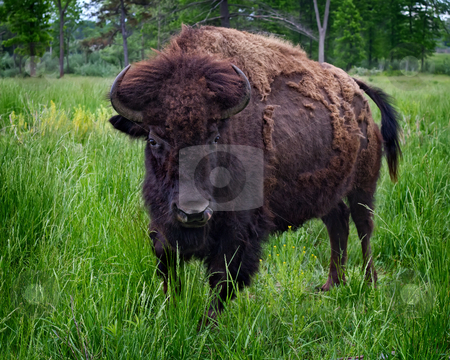 American Bison Portrait stock photo, A large American Bison (buffalo) in a field. by TommyBrison
