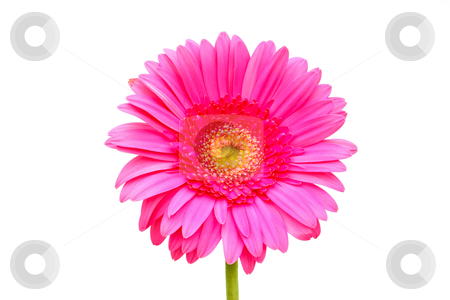 Pink gerber stock photo, Flower of a pink gerber close-up isolated on white by Borislav Marinic