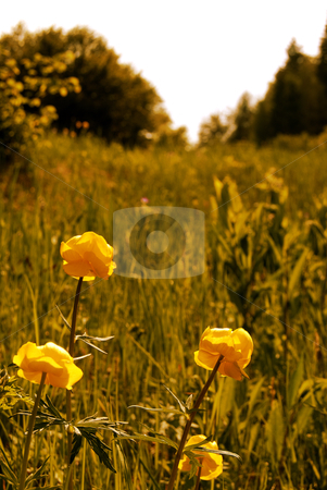 Wild flower stock photo, Wild flower meadow in Italy Trentino garden by freeteo