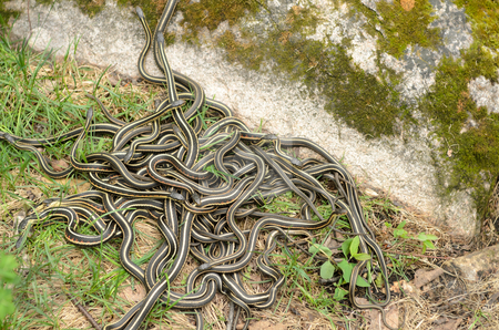 Snake Den stock photo, A pile of garter snakes intertwined on the ground. by Richard Nelson