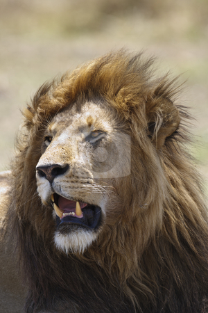 King of Beasts stock photo, Portrait of a male lion, Maasai Mara National Reserve, Kenya, East Africa by mdphot