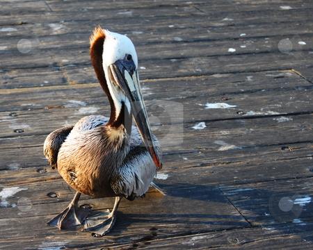 Pelican stock photo, Pelican standing on a wooden pier. by Henrik Lehnerer
