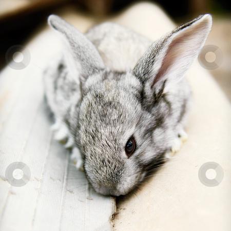 Cute cudly baby pet bunny rabbit stock photo, Cute cudly baby grey pet bunny rabbit.  by thisboy