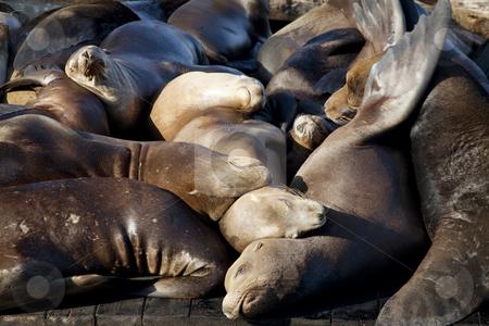 Sea Lions Sleeping on Dock stock photo, Sea Lions sleeping on dock, Fishermans Wharf, Pier 39, San Francisco by Bryan Mullennix
