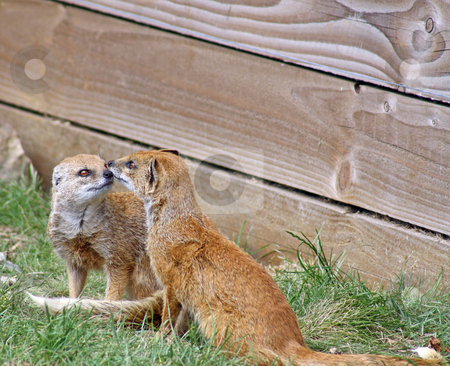 Playful mongoose stock photo, two mongoose by lizapixels