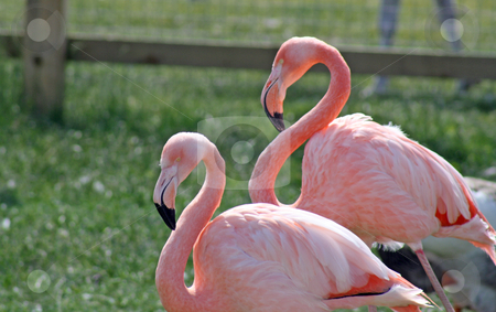 Two stunning flamingos stock photo, two pink flamingos by lizapixels