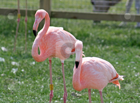 Two flamingos stock photo, two flamingos in a field by lizapixels