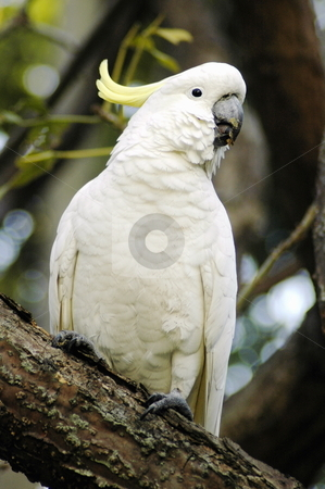 White parrot stock photo, white parrot withe yellow feather on head is sitting on a tree by Robert Remen