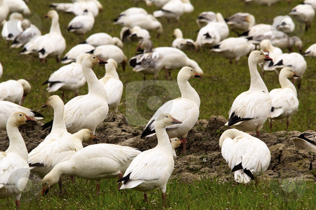 Snow Geese Flock Close Up Skagit County Washington stock photo, Snow Geese Flock Close Up  Skagit County Washington by William Perry