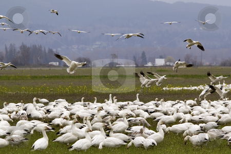 Snow Geese Flock Landing Close Up Skagit County Washington stock photo, Snow Geese Flock Close Up  Flying and Landing Skagit County Washington by William Perry