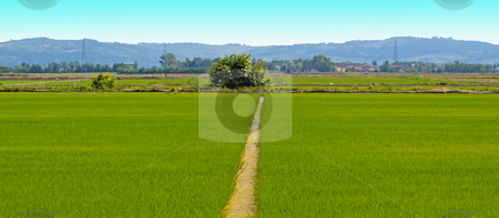 Fields stock photo, A furrow cutting in the middle ofa rice field by Fabio Alcini