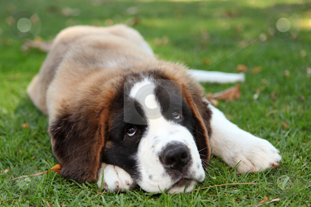Puppy Dog Outdoors in the Grass stock photo, Saint Bernard Puppy Dog Outdoors in the Grass by Katrina Brown