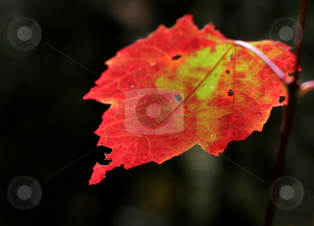 Crimson Backlit Maple Leaf stock photo, A autumn crimson maple leaf.  by Chris Hill