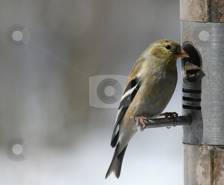 Cute Little Goldfinch stock photo, A goldfinch snacking on seeds at a bird feeder.  by Chris Hill