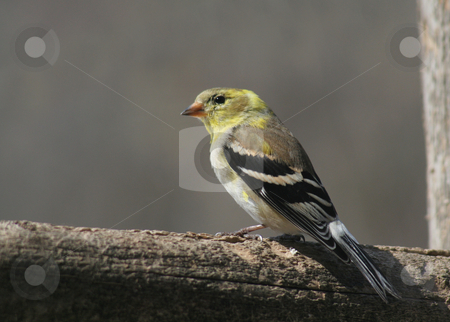 Sitting Goldfinch stock photo, A goldfinch snacking on seeds at a bird feeder.  by Chris Hill