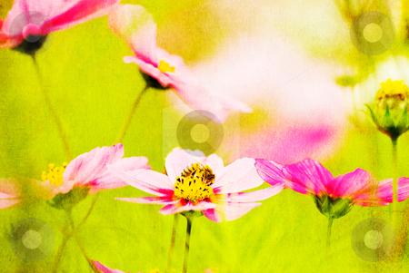 The enjoying bee in pink flowers stock photo, The bee enjoying in the pink Common Cosmos (Cosmos bipinnatus Cav.) by Lawren