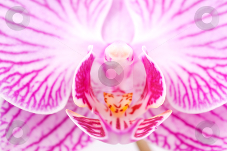 Orchid beautiful interior grain in blossoming phalaenopsis flowe stock photo, Orchid beautiful interior grain in blossoming phalaenopsis flower (phalaenopsis spp.) by Lawren