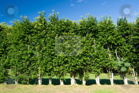 Row of trees green wall stock photo, Row of trees green wall under blue sky by Lawren