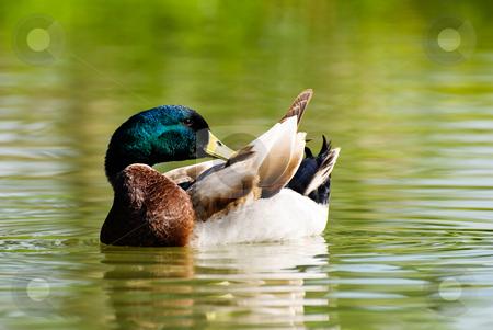 Wild duck dress its feathers stock photo, wild duck swing in the pond. maleness mallard. by Lawren