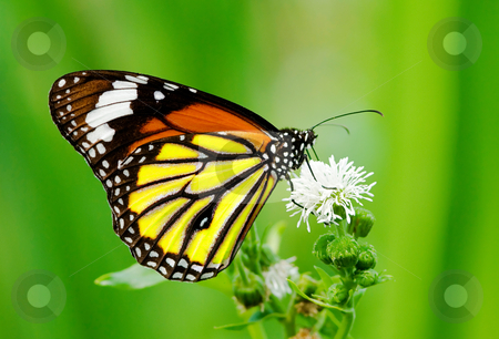 Colorful butterfly feeding stock photo, Colorful butterfly feeding on white flower by Lawren