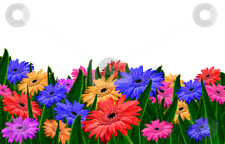 Colorful daisy gerbera flowers in a field - spring background stock photo, Colorful daisy gerbera flowers in a field - spring background by tish1