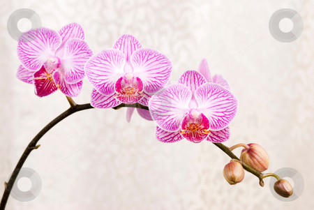 Pink orchid, blossoming phalaenopsis flower(phalaenopsis spp.) w stock photo, Pink orchid, blossoming phalaenopsis flower(phalaenopsis spp.) with silver cloth background by Lawren