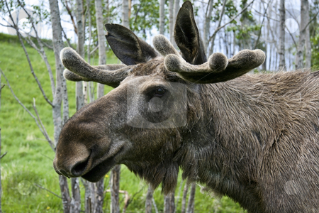 moose  stock photo, Closeup of a moose head   by Ingvar Bjork