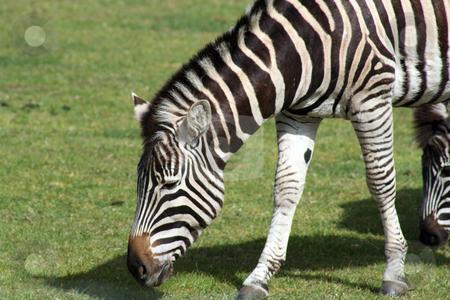 Zebra stock photo, a zebra grazing on grass by lizapixels