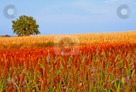 Field stock photo, Field with red and yellow wheat and a tree by Fabio Alcini
