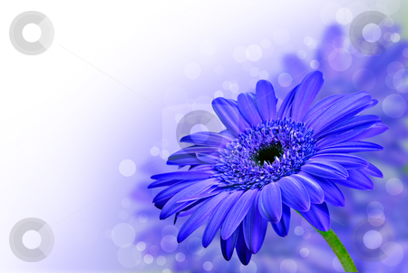 Close up abstract of  purple daisy gerbera flowers stock photo, Close up abstract of  purple daisy gerbera flowers by tish1