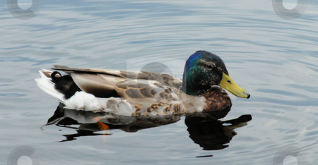 Duck stock photo, A duck in the water swimming along. by Tim Markley