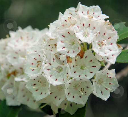 Laurels in bloom stock photo, Mountain Laurel in full bloom in the North Carolina Mountains. Shown up close. by Tim Markley