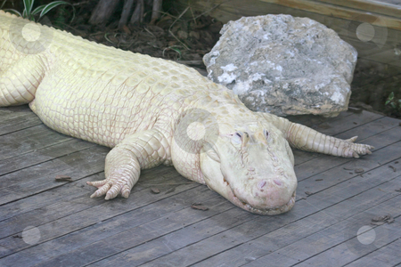 White Alligator stock photo, A white alligator laying on wood, with rock. by Lucy Clark