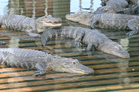 Alligators stock photo, A lot of Alligators laying on wood in water by Lucy Clark