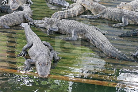 Alligators stock photo, A lot of Alligators laying in wood in water. by Lucy Clark