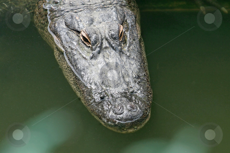 Alligator stock photo, A close-up of an alligator in water by Lucy Clark