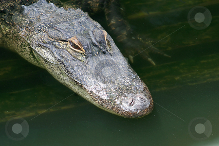 Alligator stock photo, A close-up of an alligator in water. by Lucy Clark
