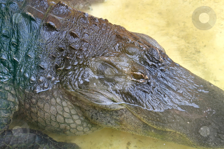 Alligator stock photo, A close-up of an alligator laying in water. by Lucy Clark