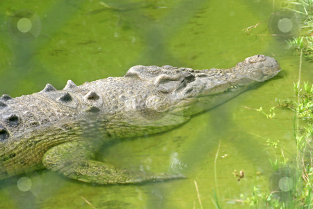 Alligator stock photo, A close-up of an alligator laying in water by Lucy Clark