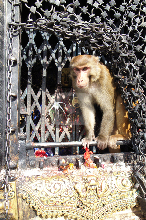 Monkey stock photo, Closeup view of a monkey in the temple by John Young