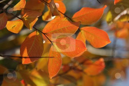 Fall foliage stock photo, Closeup photo of bright red fall foliage on a tree by Olena Pupirina