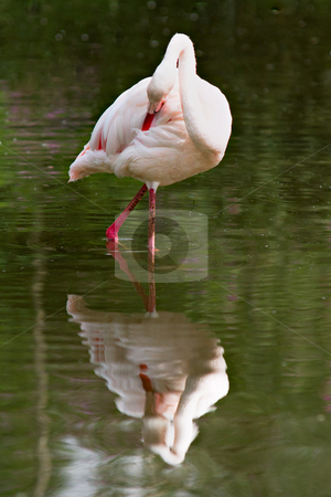 Flamingo stock photo, Single flamingo in water with reflection by Gert Lavsen