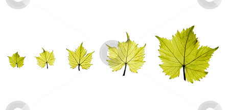 Grape leaves stock photo, Development process of a green grape leaf on white background by OZMedia